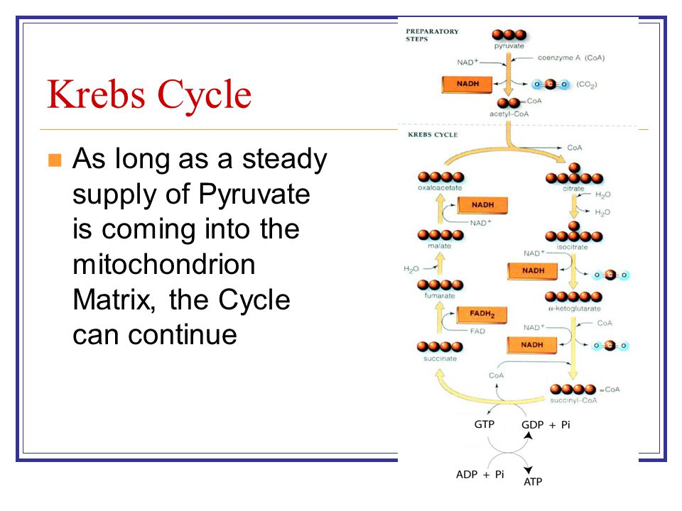 Krebs Cycle As long as a steady supply of Pyruvate is coming into the mitochondrion Matrix, the Cycle can continue