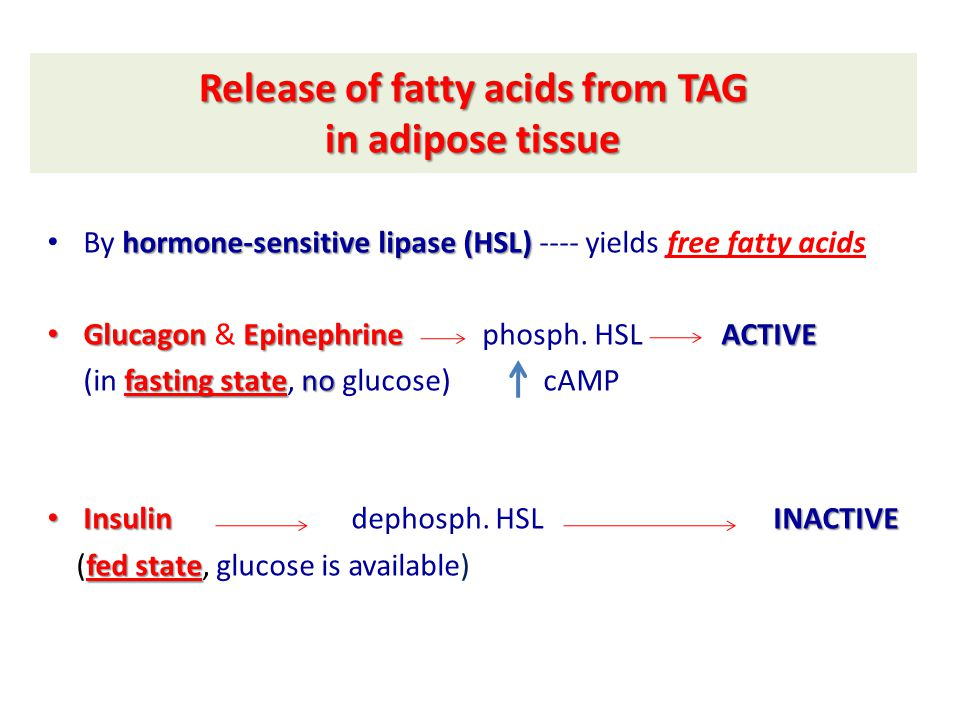 Fate of free fatty acids (released from TAG in adipose tissue) free Fatty acids (from adipose tissue TAG) Blood (bound with albumin) Cells of body FA Oxidation FA Oxidation (in mitochondria) Acetyl CoA Ketone Bodies Acetyl CoA Citric Acid Cycle (in liver) FFAs are oxidized in all tissues of the body EXCEPT: RBCs RBCs (no mitochondria) brain brain (BBB)
