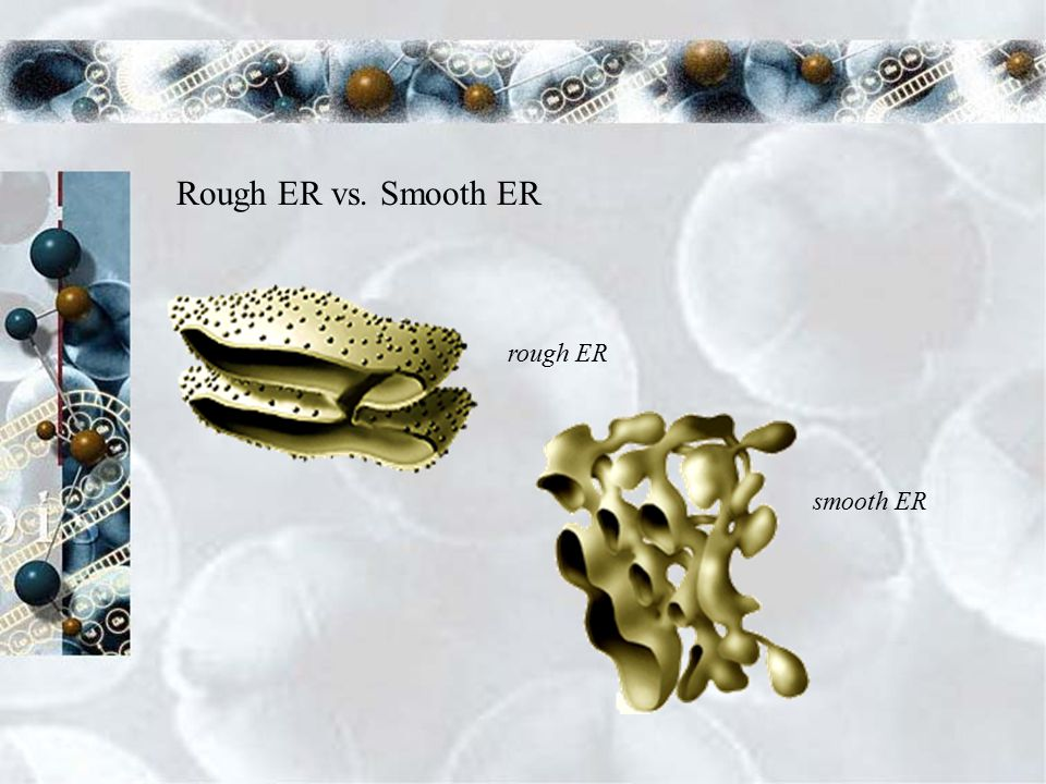 Endoplasmic Reticulum Functions Assembles components of the plasma membrane Properties Rough endoplasmic reticulum- studded with ribosomes that synthesize proteins Smooth endoplasmic reticulum- contains collections of enzymes that perform specialized tasks, such as a synthesis of lipids rough ER
