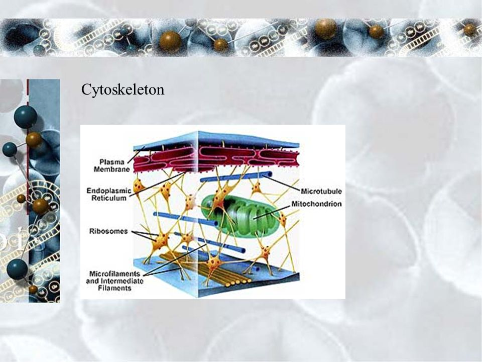 Cytoskeleton Functions Helps the cell maintain its shape Moves organelles within the cell Involved in many forms of cell movement Properties Network of protein filaments Microtubules- maintains cell shape and serves as tracks along which organelles are moved Cilia and flagella- microtubules form hair-like projections that enable cells to swim through liquids Microfilaments- produces a tough, flexible framework that supports the cell cytoskeleton