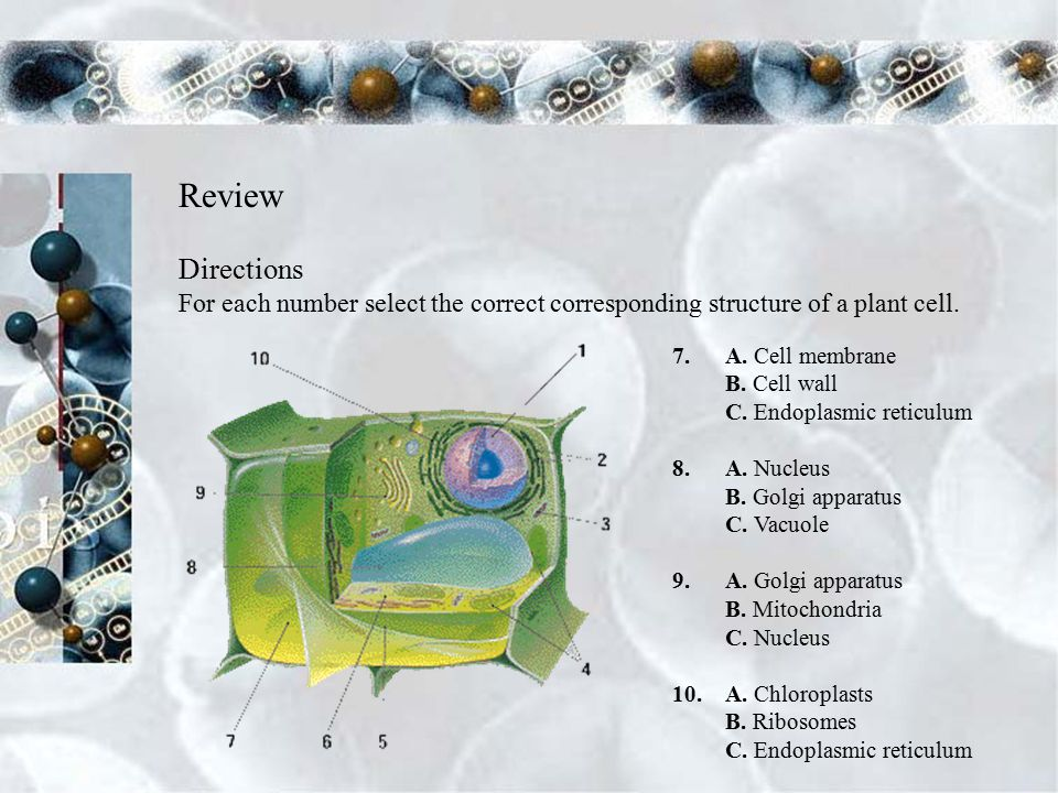 Review Directions For each number select the correct corresponding structure of a plant cell.