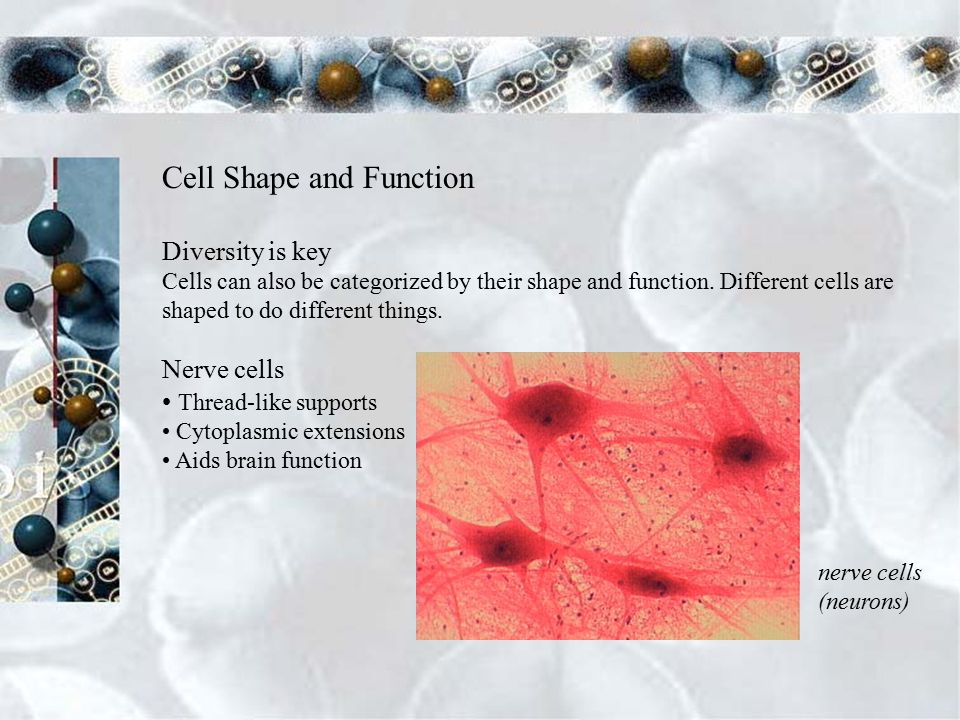 Cell Shape and Function Diversity is key Cells can also be categorized by their shape and function.
