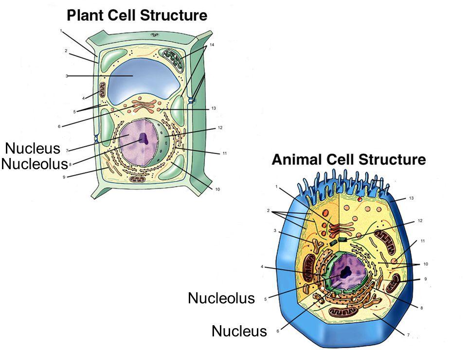 Nucleus Nucleolus