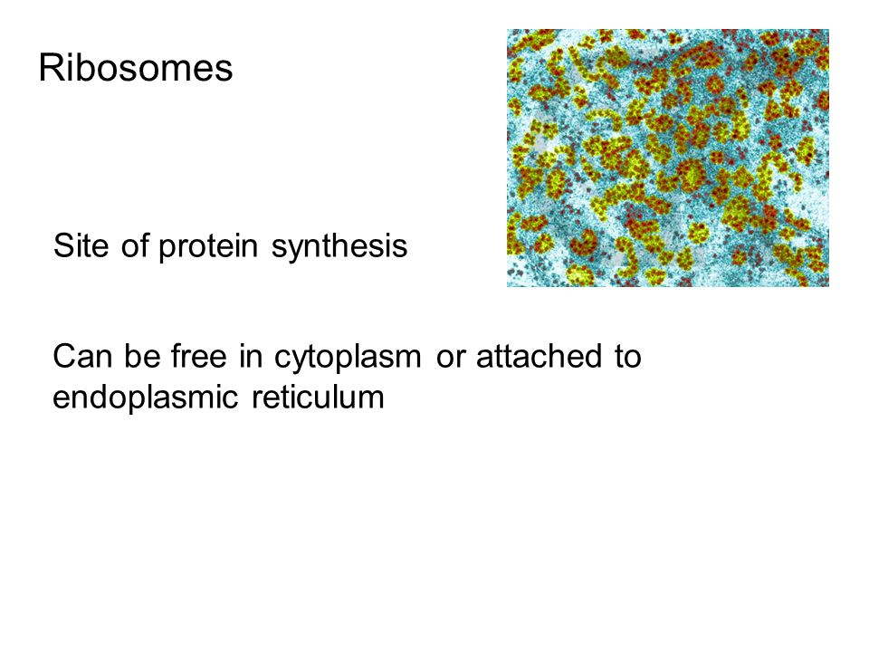 Ribosomes Site of protein synthesis Can be free in cytoplasm or attached to endoplasmic reticulum