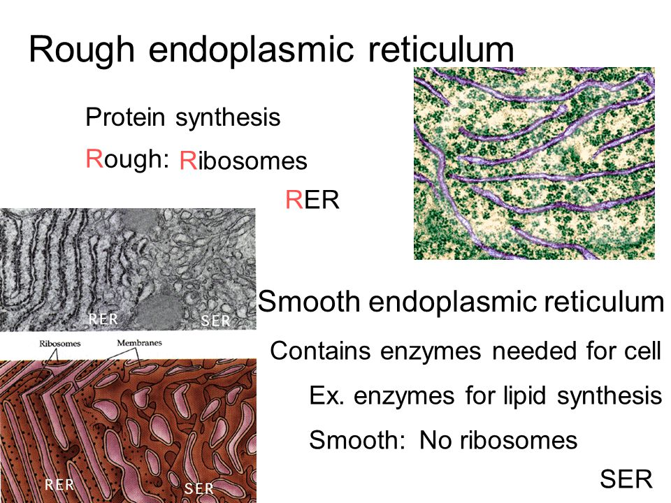 Rough endoplasmic reticulum Protein synthesis Rough: Ribosomes Smooth endoplasmic reticulum Smooth:No ribosomes Contains enzymes needed for cell Ex. e