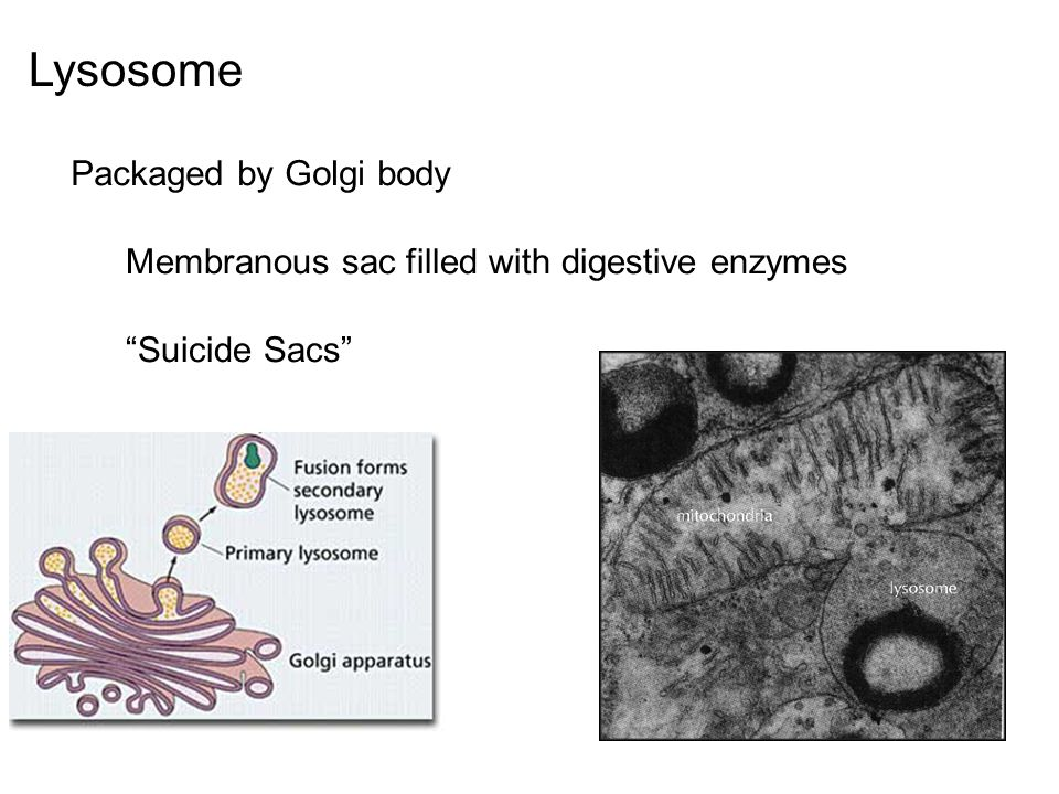"""Lysosome Packaged by Golgi body Membranous sac filled with digestive enzymes """"Suicide Sacs"""""""
