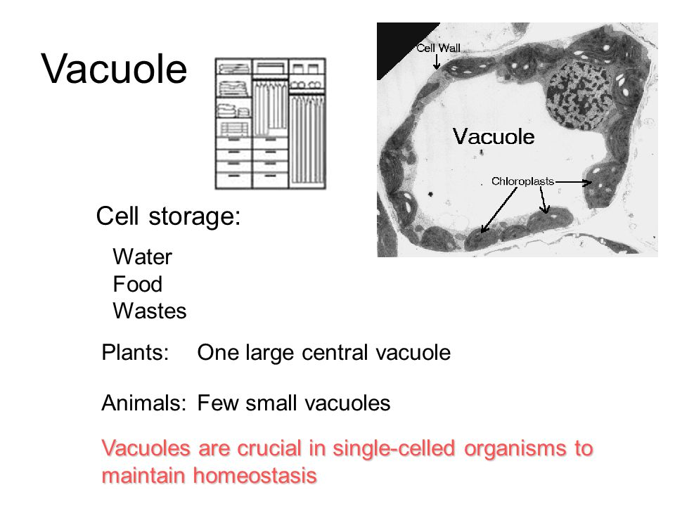 Vacuole Cell storage: Water Food Wastes Plants:One large central vacuole Animals:Few small vacuoles Vacuoles are crucial in single-celled organisms to