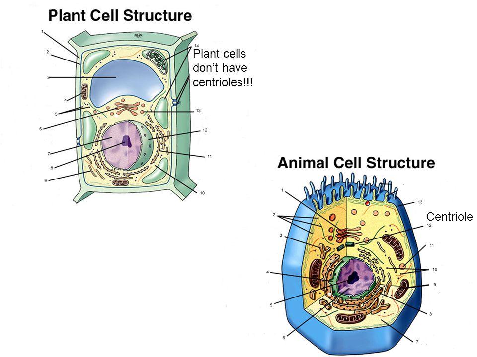 Centriole Plant cells don't have centrioles!!!