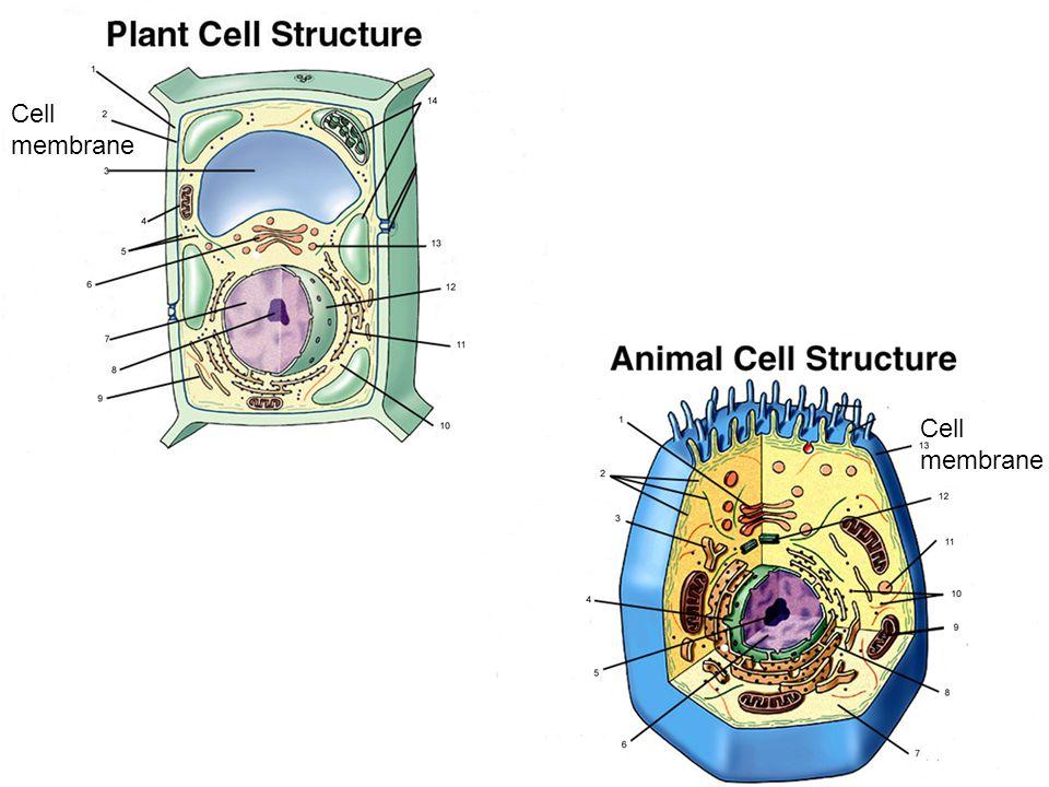Cell membrane Cell membrane