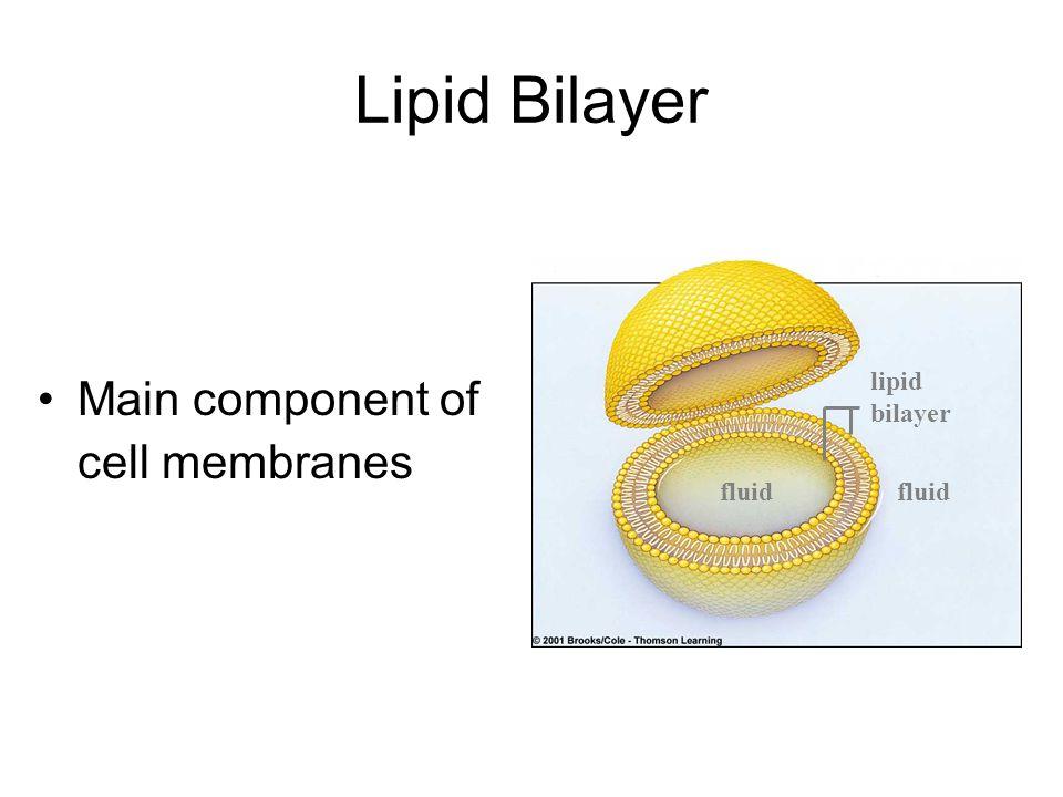 Main component of cell membranes Lipid Bilayer lipid bilayer fluid