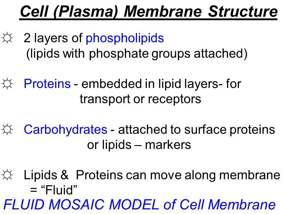 Cell (Plasma) Membrane Structure ☼ 2 layers of phospholipids (lipids with phosphate groups attached) ☼ Proteins - embedded in lipid layers- for transp