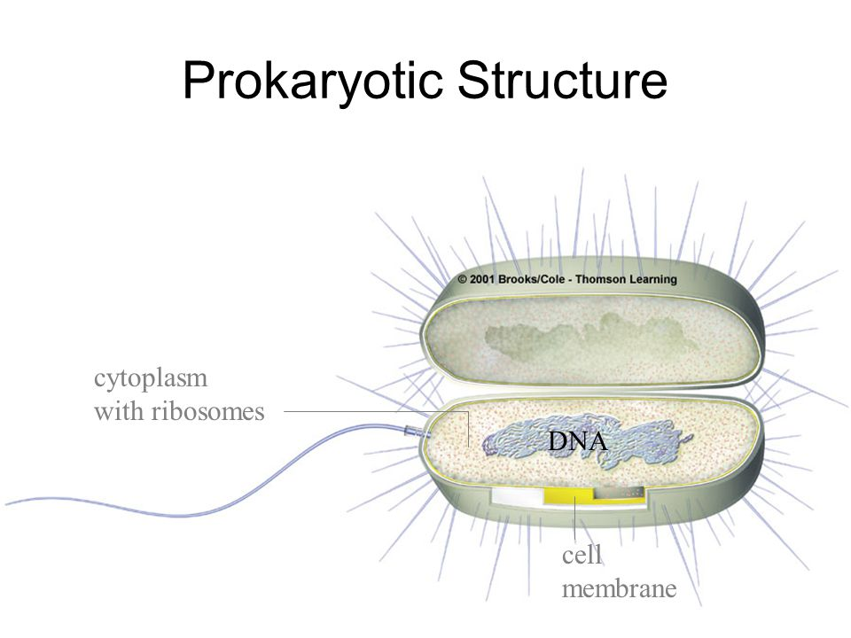 Prokaryotic Structure DNA cytoplasm with ribosomes cell membrane