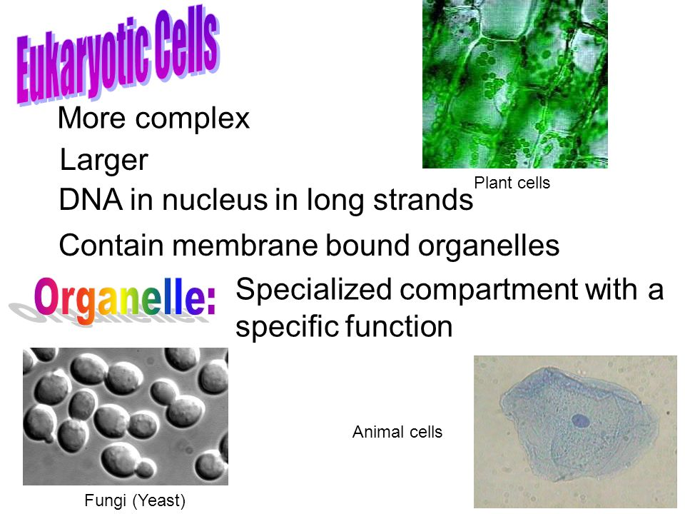 More complex Larger Contain membrane bound organelles Specialized compartment with a specific function DNA in nucleus in long strands Plant cells Anim