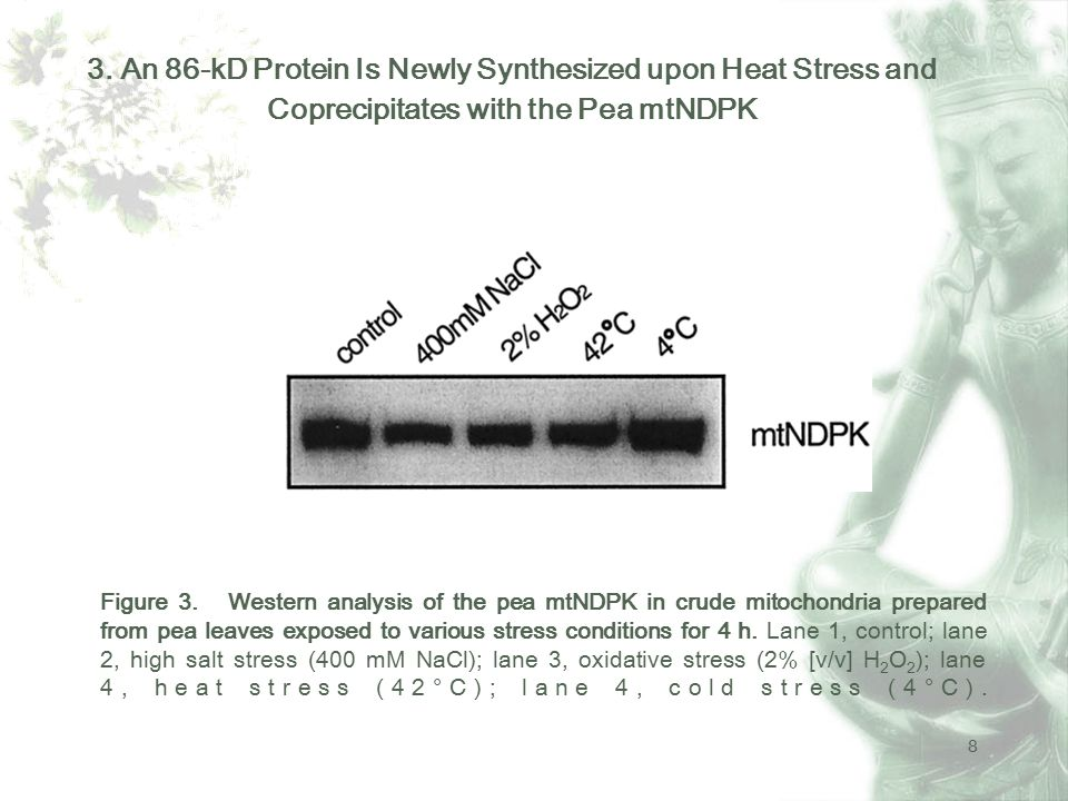 9 Figure 4.Analysis of de novo synthesized protein in pea upon heat and cold stress.