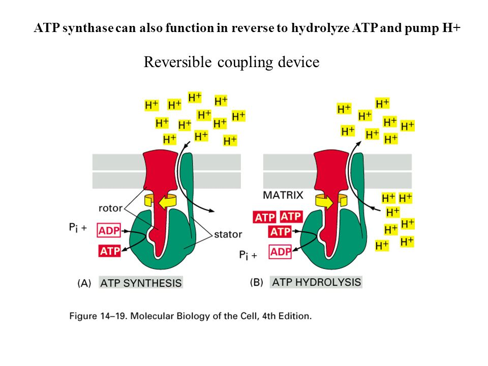 ATP synthase can also function in reverse to hydrolyze ATP and pump H+ Reversible coupling device