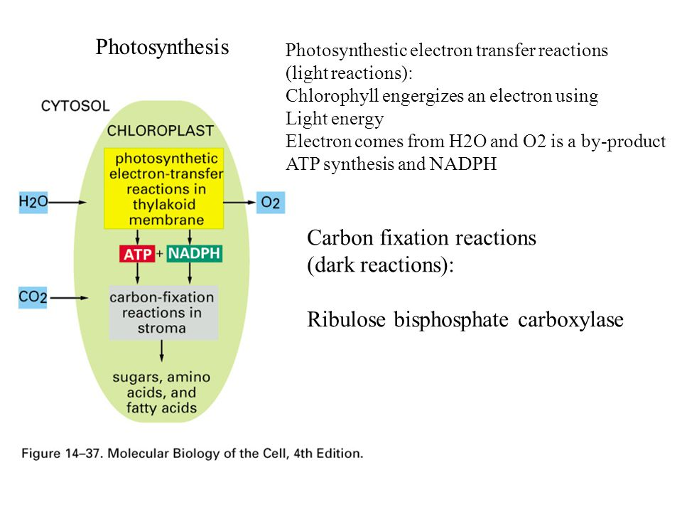 Photosynthesis Photosynthestic electron transfer reactions (light reactions): Chlorophyll engergizes an electron using Light energy Electron comes from H2O and O2 is a by-product ATP synthesis and NADPH Carbon fixation reactions (dark reactions): Ribulose bisphosphate carboxylase