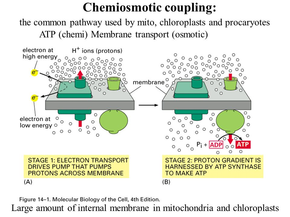 Chemiosmotic coupling: Large amount of internal membrane in mitochondria and chloroplasts the common pathway used by mito, chloroplasts and procaryotes ATP (chemi) Membrane transport (osmotic)