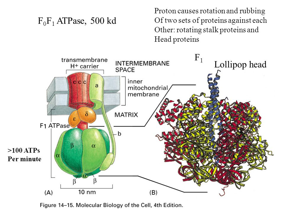 F 0 F 1 ATPase, 500 kd Lollipop head F1F1 Proton causes rotation and rubbing Of two sets of proteins against each Other: rotating stalk proteins and H