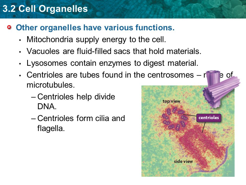 3.2 Cell Organelles Other organelles have various functions.