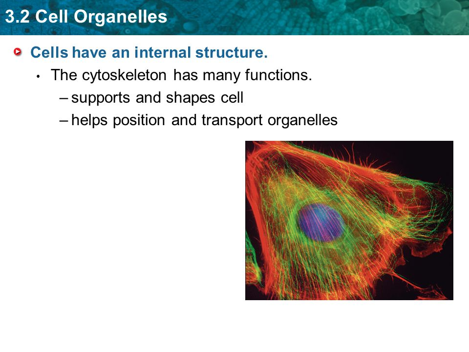 3.2 Cell Organelles Cells have an internal structure.