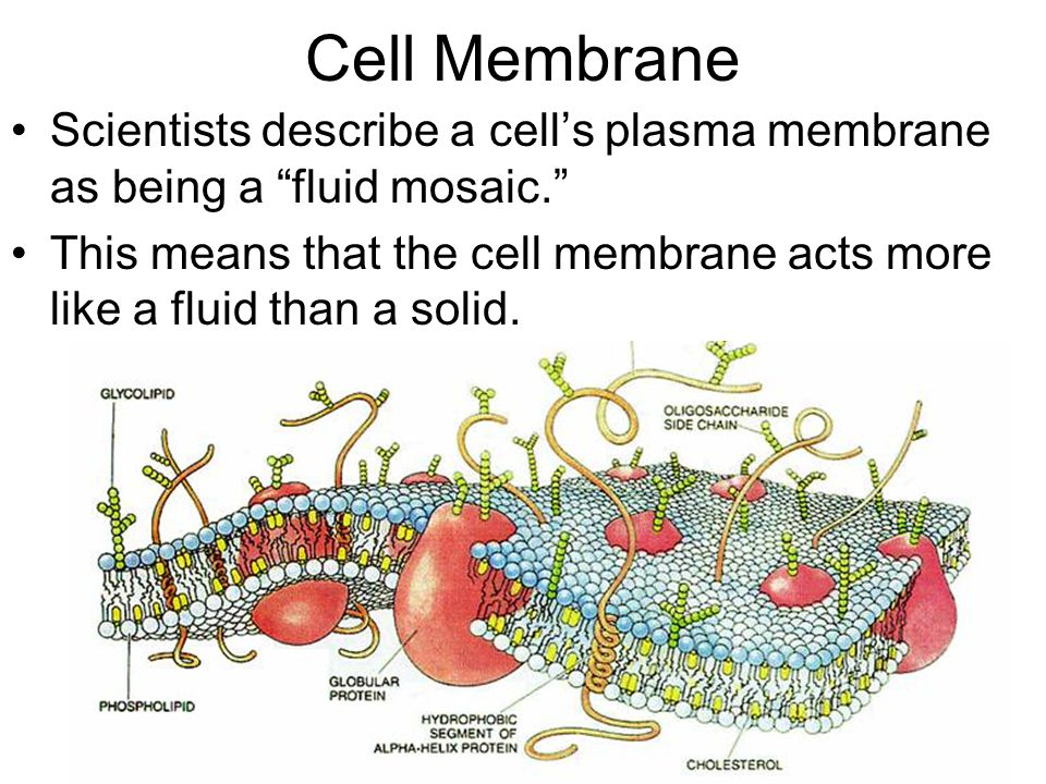 "Cell Membrane Scientists describe a cell's plasma membrane as being a ""fluid mosaic."" This means that the cell membrane acts more like a fluid than a"