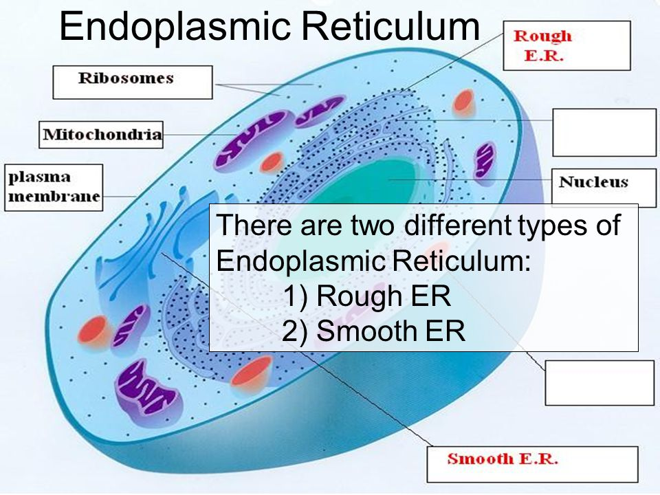 Endoplasmic Reticulum There are two different types of Endoplasmic Reticulum: 1) Rough ER 2) Smooth ER