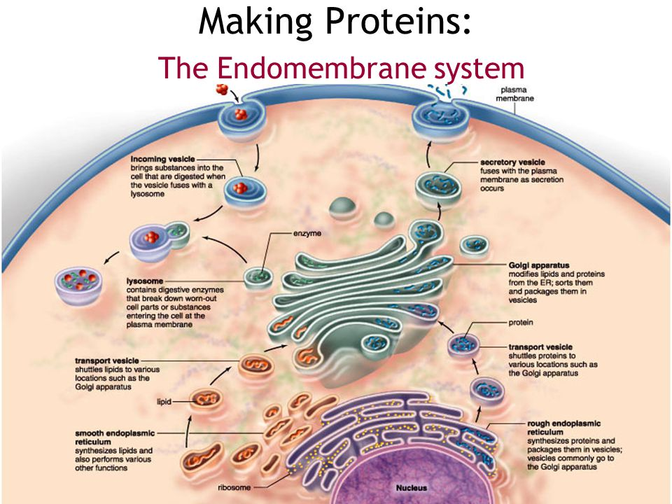don't digest a biomolecule – instead biomolecule collects in lysosomes –lysosomes fill up with undigested material lysosomes grow larger & larger –eve
