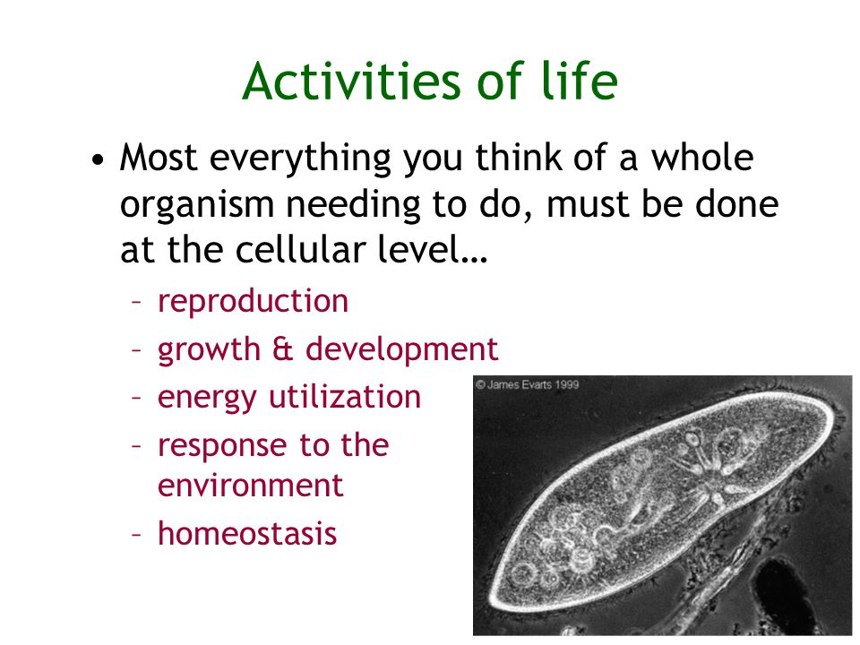 Activities of life Most everything you think of a whole organism needing to do, must be done at the cellular level… –reproduction –growth & development –energy utilization –response to the environment –homeostasis