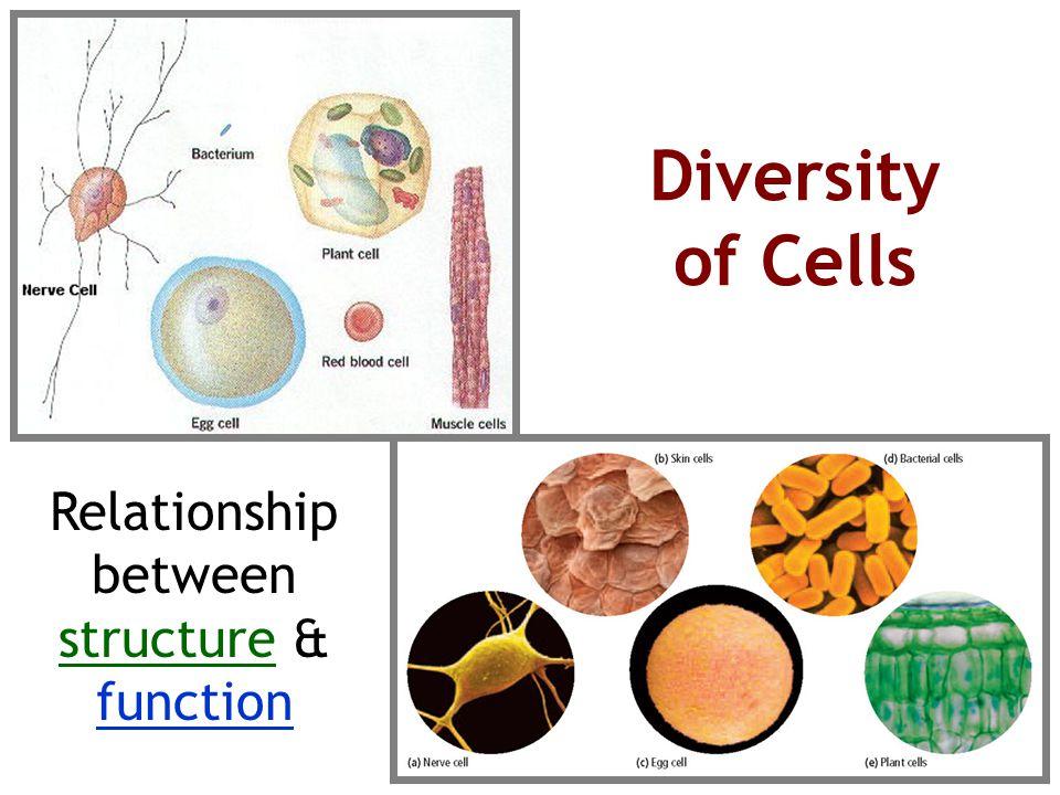 Diversity of Cells Relationship between structure & function
