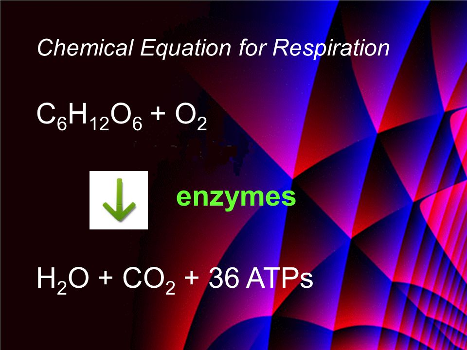 Chemical Equation for Respiration C 6 H 12 O 6 + O 2 enzymes H 2 O + CO 2 + 36 ATPs
