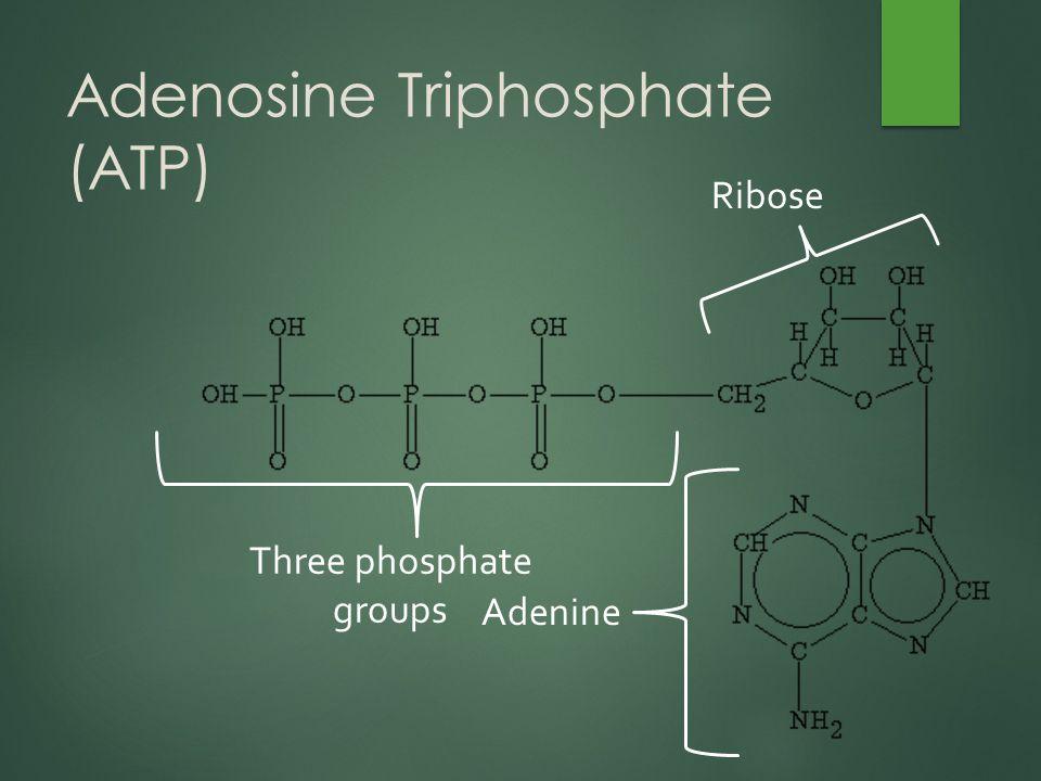 Adenosine Triphosphate (ATP) Adenine Three phosphate groups Ribose