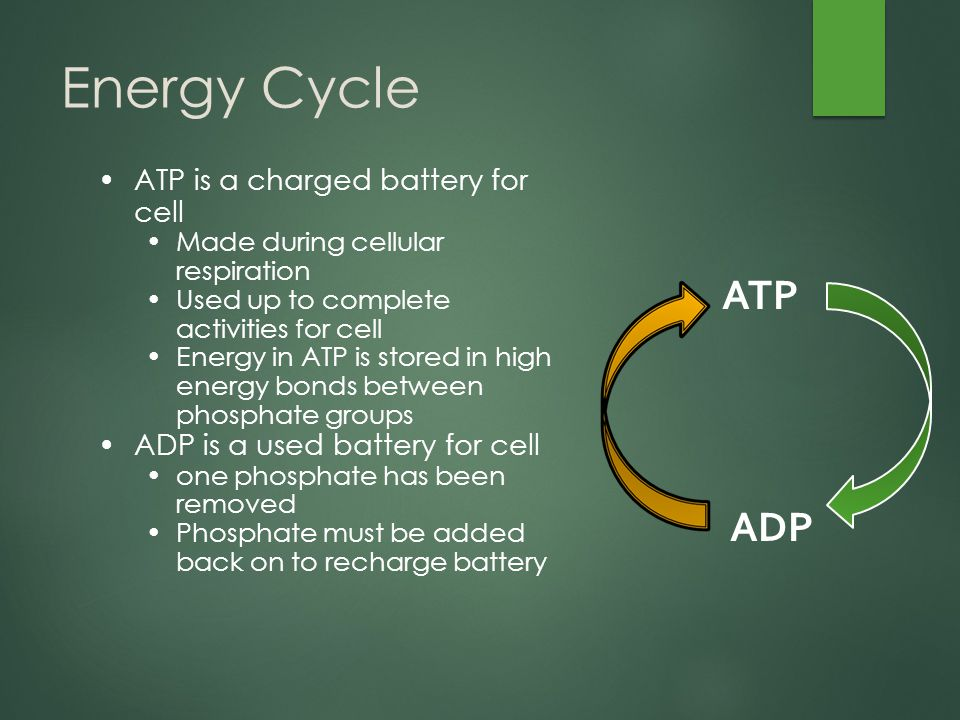Energy Cycle ATP is a charged battery for cell Made during cellular respiration Used up to complete activities for cell Energy in ATP is stored in high energy bonds between phosphate groups ADP is a used battery for cell one phosphate has been removed Phosphate must be added back on to recharge battery ADP ATP
