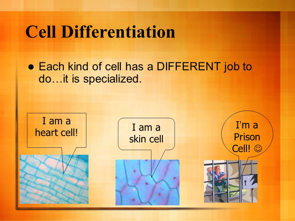 Cell Differentiation Each kind of cell has a DIFFERENT job to do…it is specialized. I am a heart cell! I am a skin cell I'm a Prison Cell!