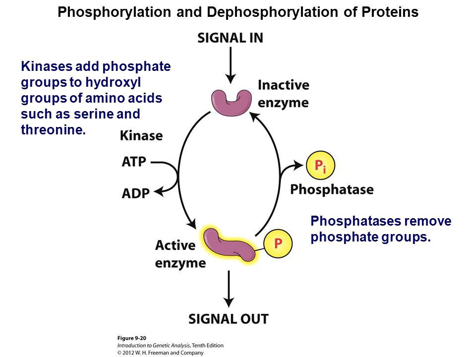 Phosphorylation and Dephosphorylation of Proteins Kinases add phosphate groups to hydroxyl groups of amino acids such as serine and threonine. Phospha
