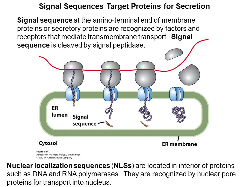 Signal Sequences Target Proteins for Secretion Signal sequence at the amino-terminal end of membrane proteins or secretory proteins are recognized by factors and receptors that mediate transmembrane transport.