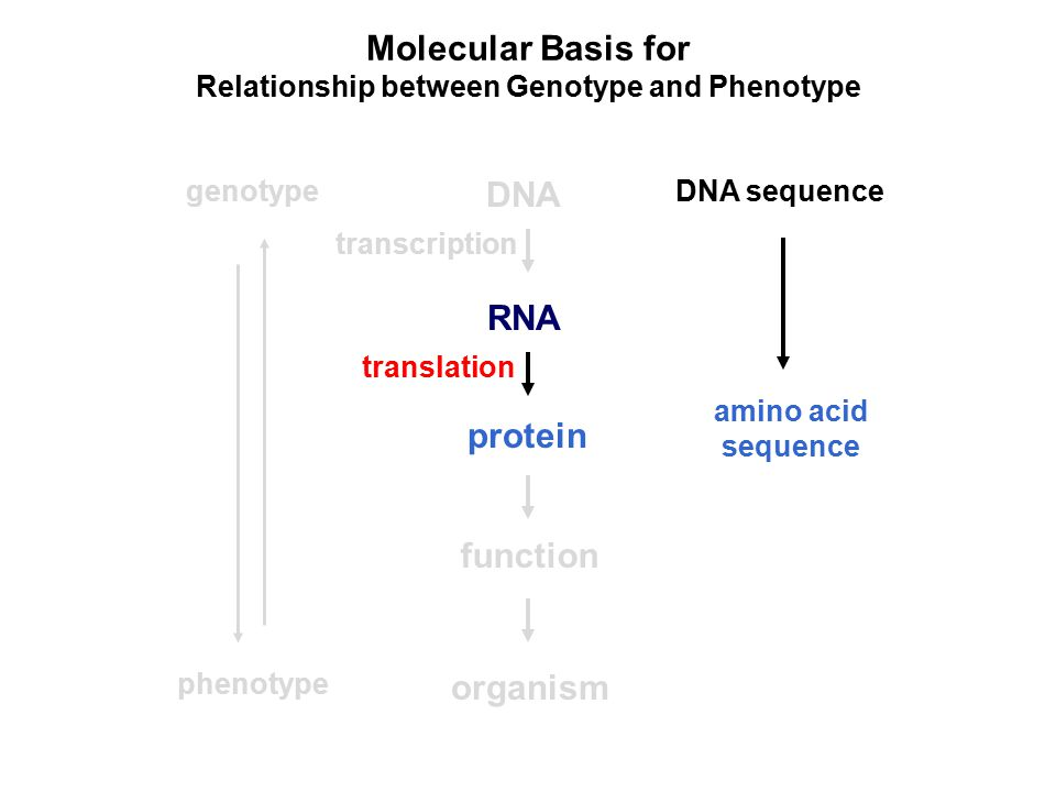 Molecular Basis for Relationship between Genotype and Phenotype DNA RNA protein genotype function organism phenotype DNA sequence amino acid sequence transcription translation