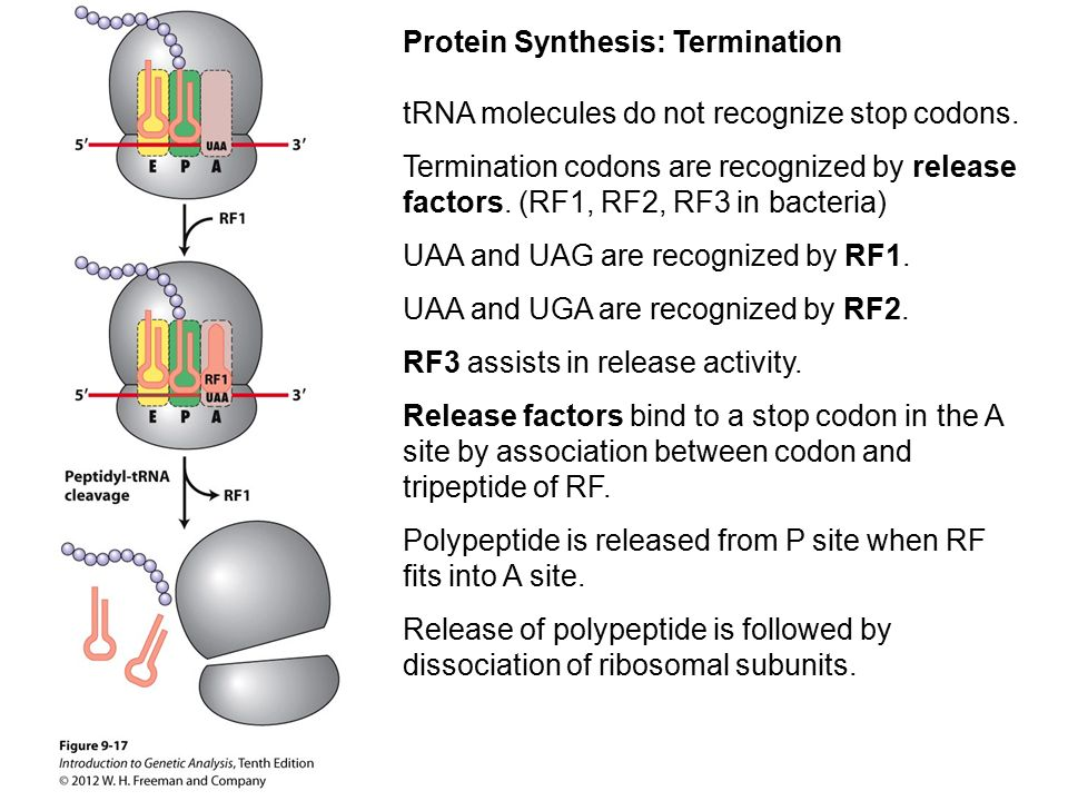 Protein Synthesis: Termination tRNA molecules do not recognize stop codons. Termination codons are recognized by release factors. (RF1, RF2, RF3 in ba