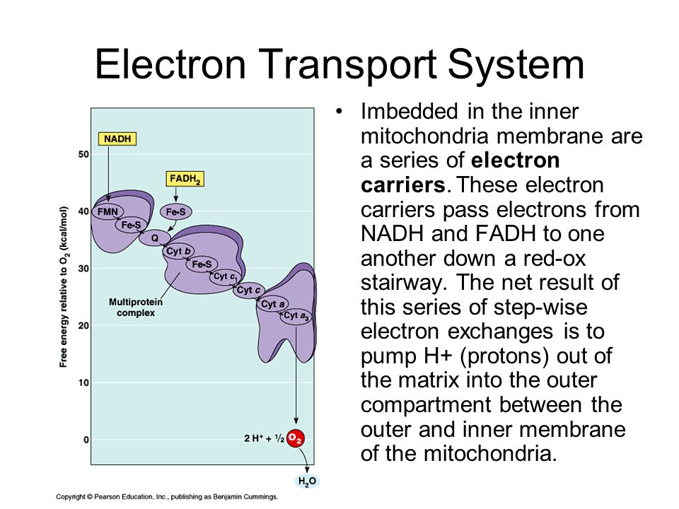 Electron Transport System Imbedded in the inner mitochondria membrane are a series of electron carriers.