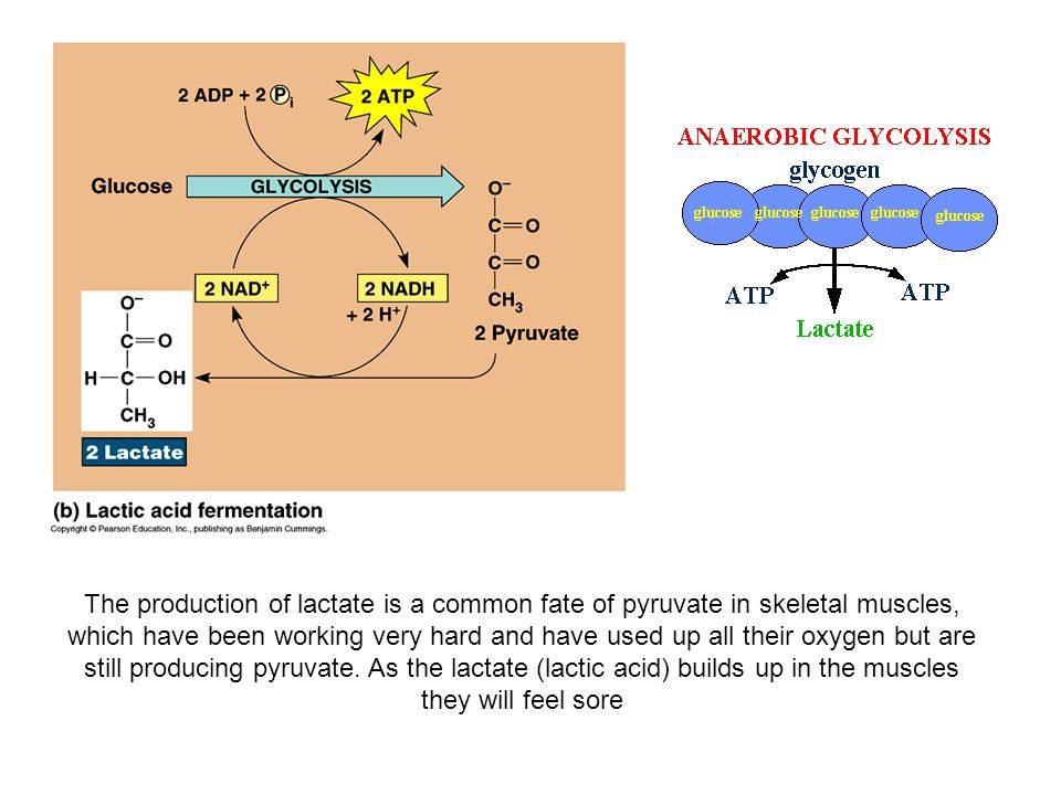 The production of lactate is a common fate of pyruvate in skeletal muscles, which have been working very hard and have used up all their oxygen but are still producing pyruvate.