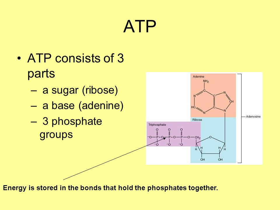 ATP ATP consists of 3 parts – a sugar (ribose) – a base (adenine) – 3 phosphate groups Energy is stored in the bonds that hold the phosphates together