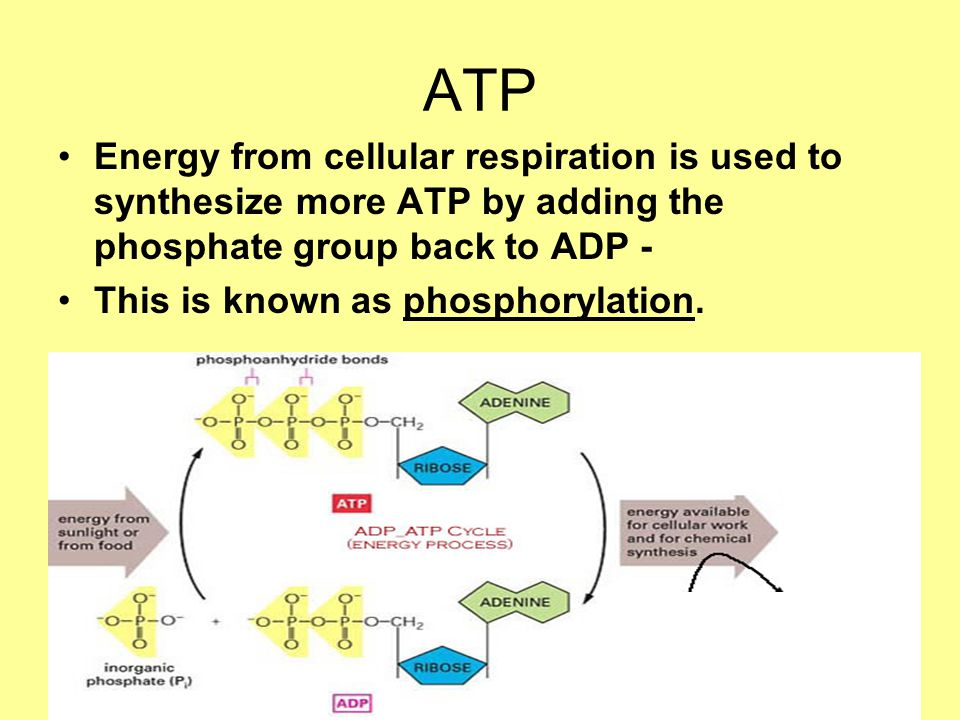 ATP Energy from cellular respiration is used to synthesize more ATP by adding the phosphate group back to ADP - This is known as phosphorylation.