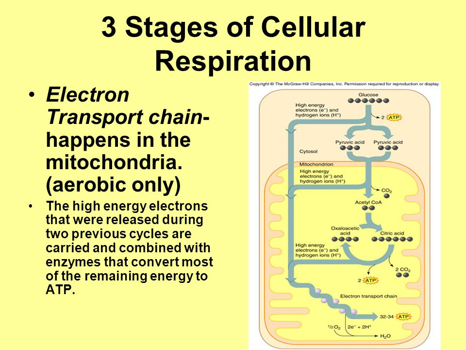 3 Stages of Cellular Respiration Electron Transport chain- happens in the mitochondria.