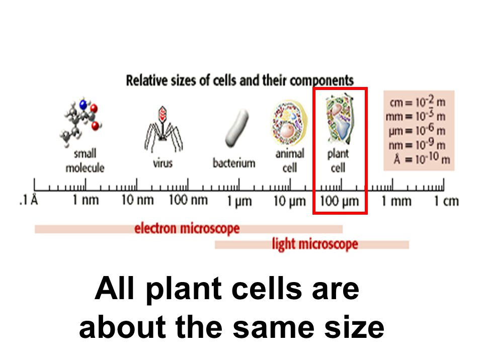 All plant cells are about the same size