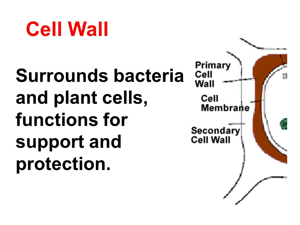 Cell Wall Surrounds bacteria and plant cells, functions for support and protection.