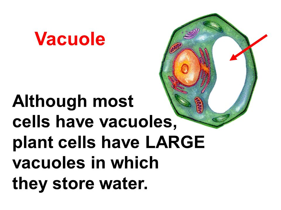 Vacuole Although most cells have vacuoles, plant cells have LARGE vacuoles in which they store water.