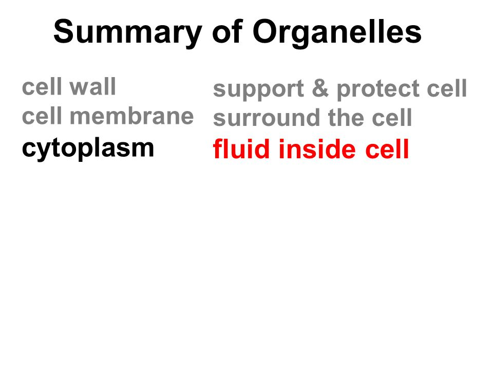 Summary of Organelles cell wall cell membrane cytoplasm support & protect cell surround the cell fluid inside cell