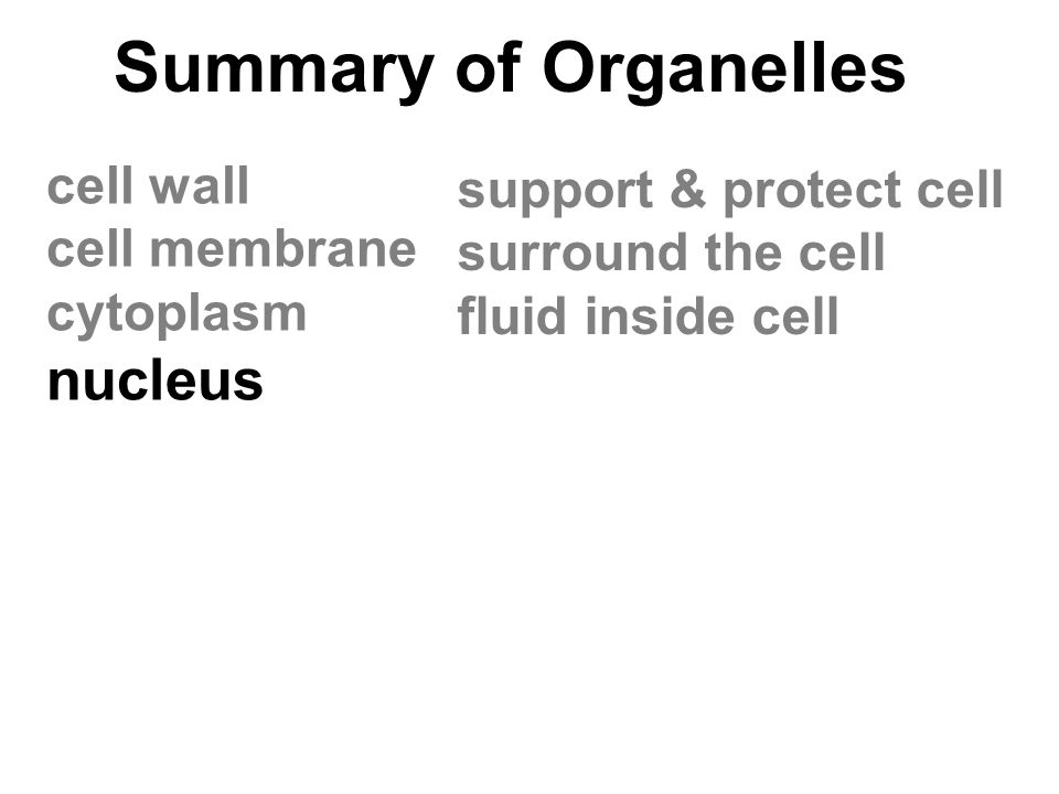 Summary of Organelles cell wall cell membrane cytoplasm nucleus support & protect cell surround the cell fluid inside cell
