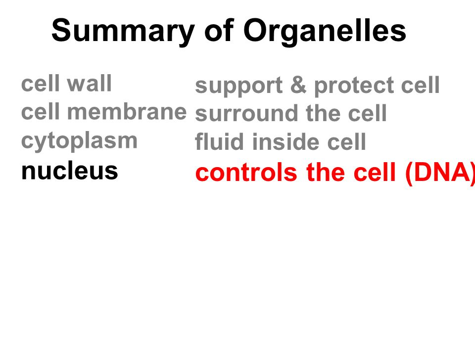 Summary of Organelles cell wall cell membrane cytoplasm nucleus support & protect cell surround the cell fluid inside cell controls the cell (DNA)