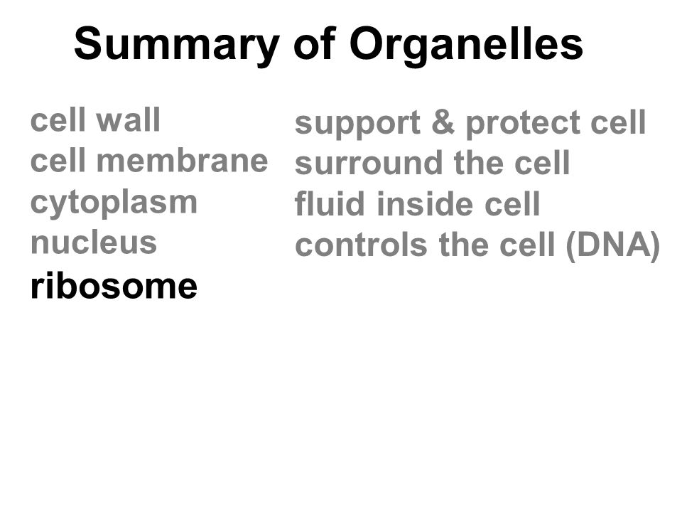 Summary of Organelles cell wall cell membrane cytoplasm nucleus ribosome support & protect cell surround the cell fluid inside cell controls the cell