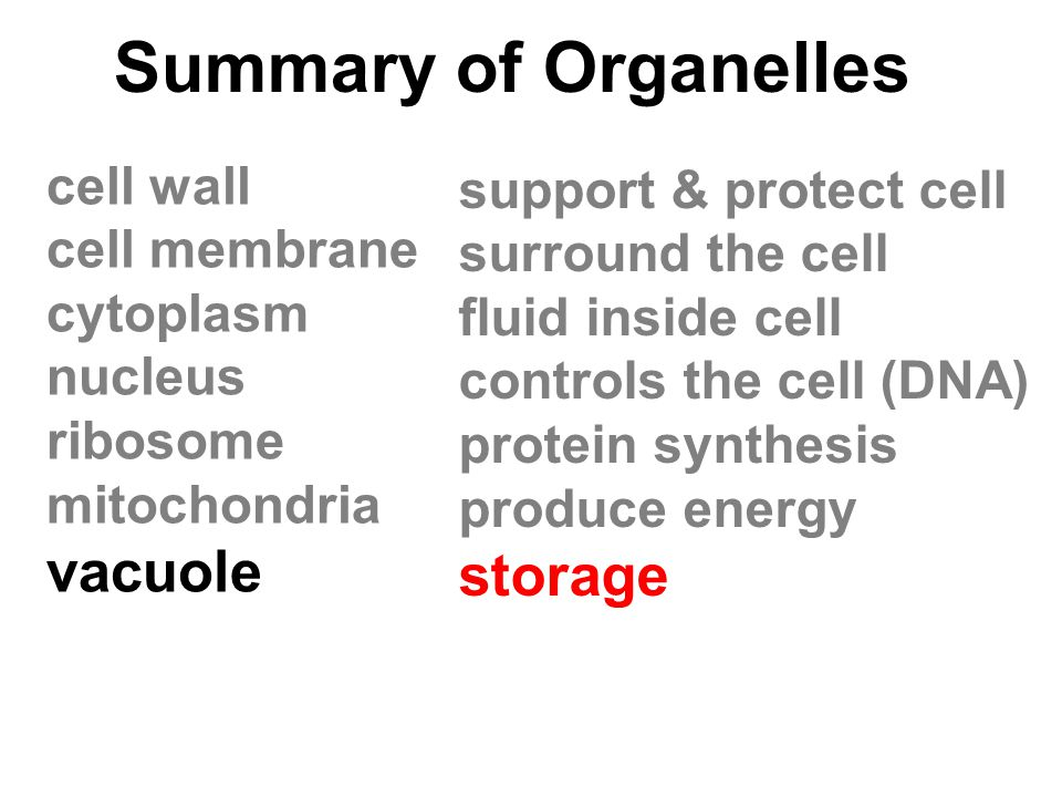 Summary of Organelles cell wall cell membrane cytoplasm nucleus ribosome mitochondria vacuole support & protect cell surround the cell fluid inside ce
